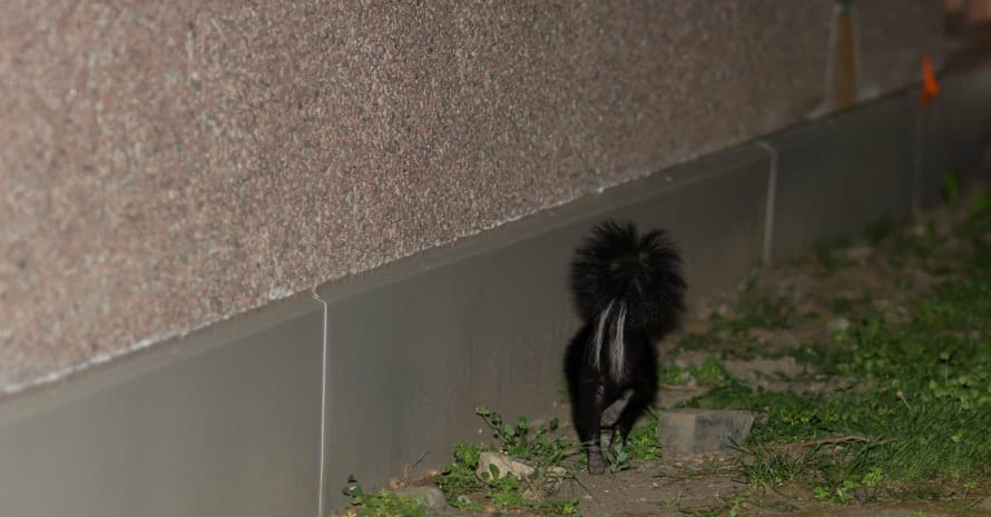 skunk near the house