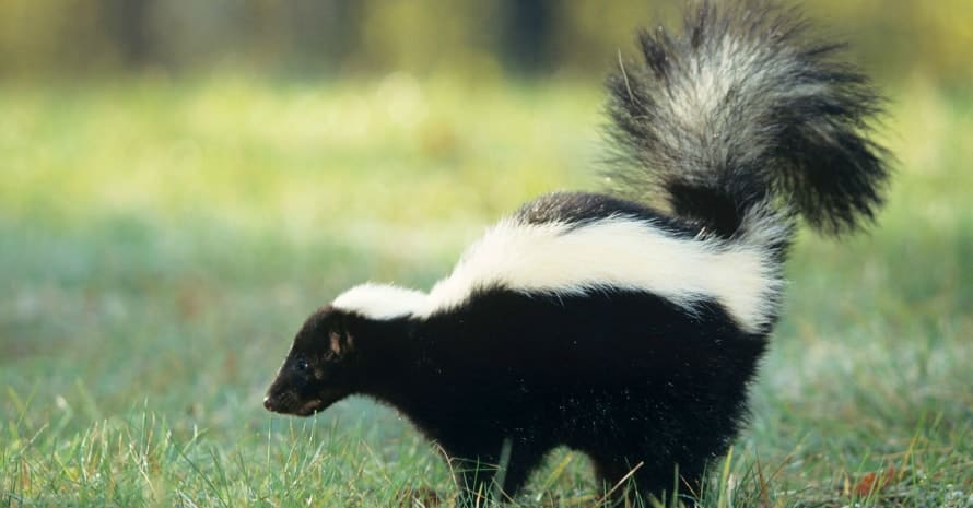 skunk on the grass with a raised tail