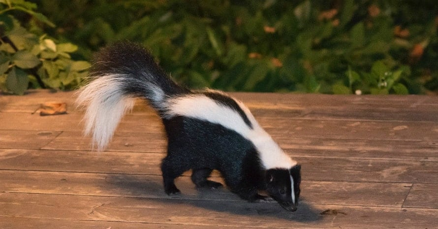 skunk on the porch