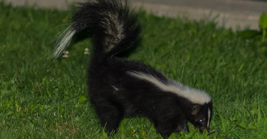 skunk running in the grass