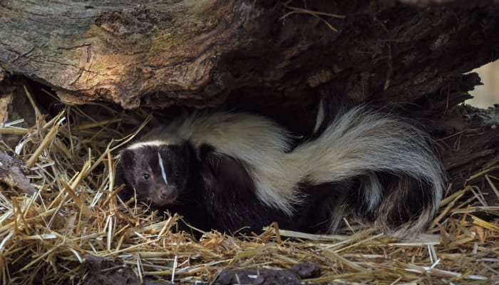 skunk under the stump