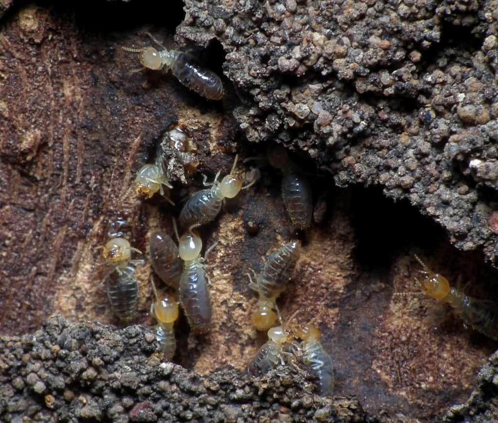 slightly white termites