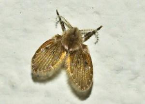 small drain fly
