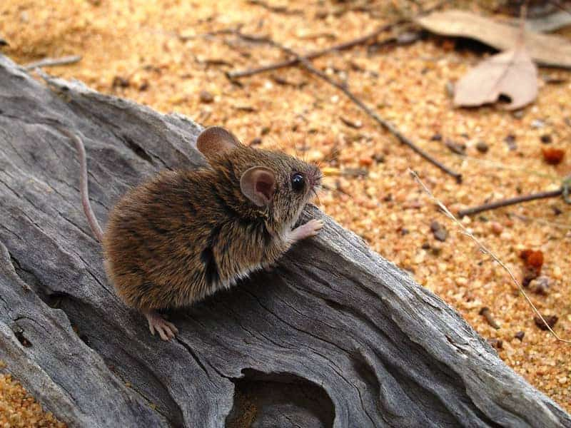 pilliga mouse sitting on wood log