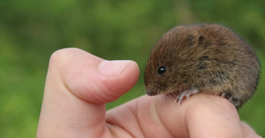 small vole on hand
