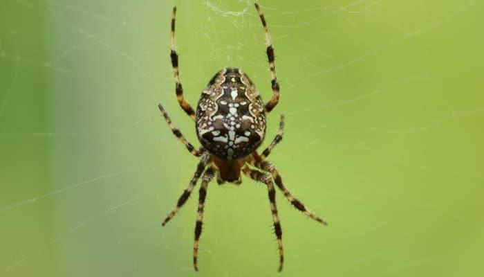 spider araneus on green