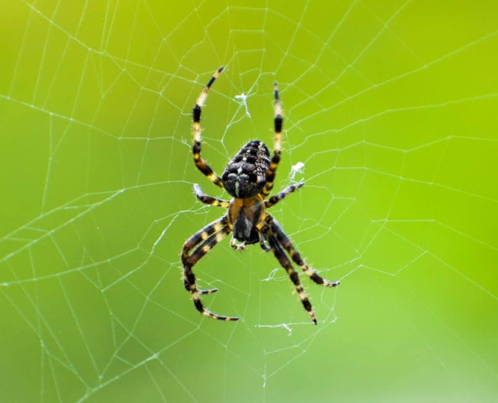spider-in-macro