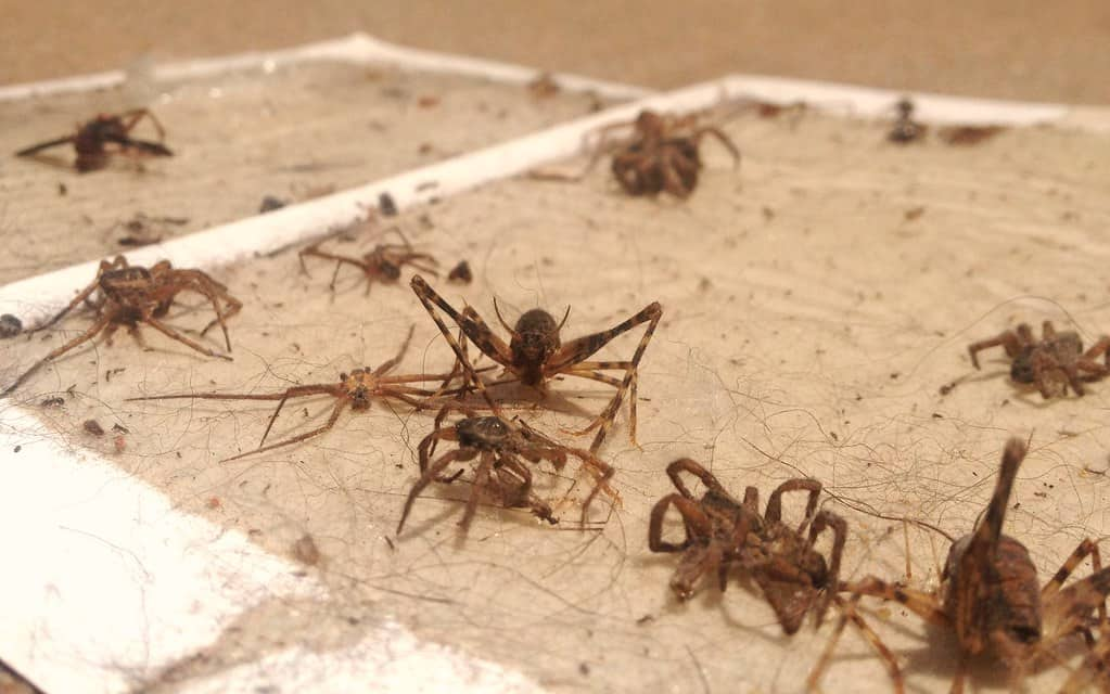 trapped spiders