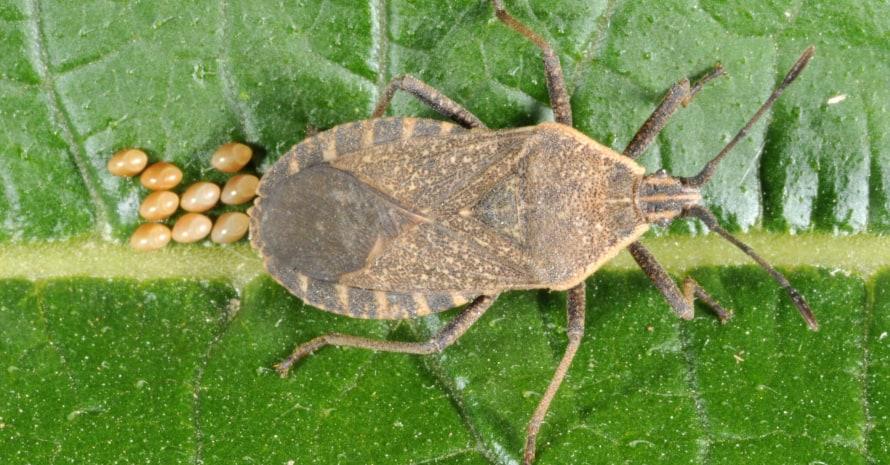 squash bug on the leaf