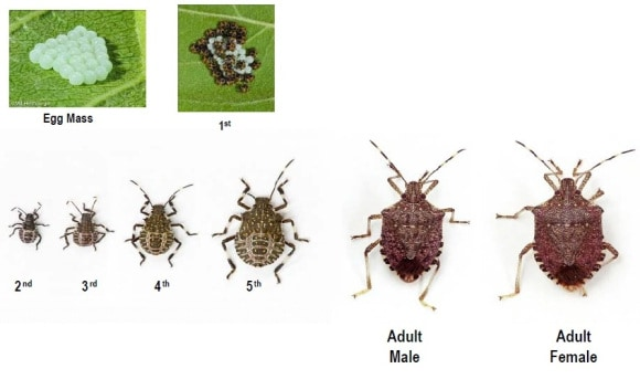 How To Get Rid Of Stink Bugs And Keep