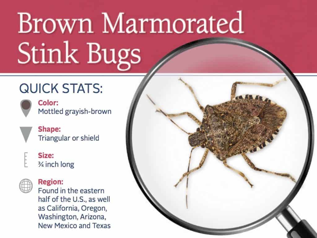 How To Get Rid Of Brown Marmorated Stink Bug Pest Control
