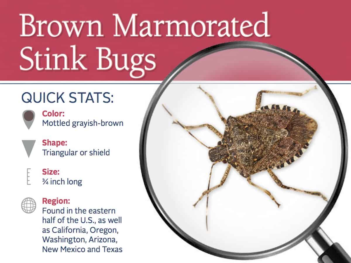 Watch How to Get Rid of Stink Bugs Naturally video