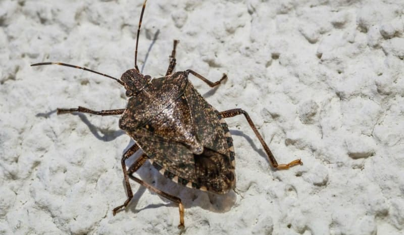 Are Stink Bugs Dangerous?