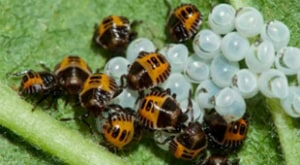 HOW TO GET RID OF BROWN MARMORATED STINK BUG - Pest Control