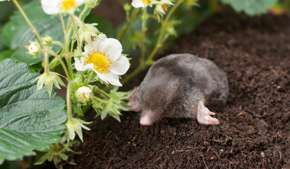 stinky mole