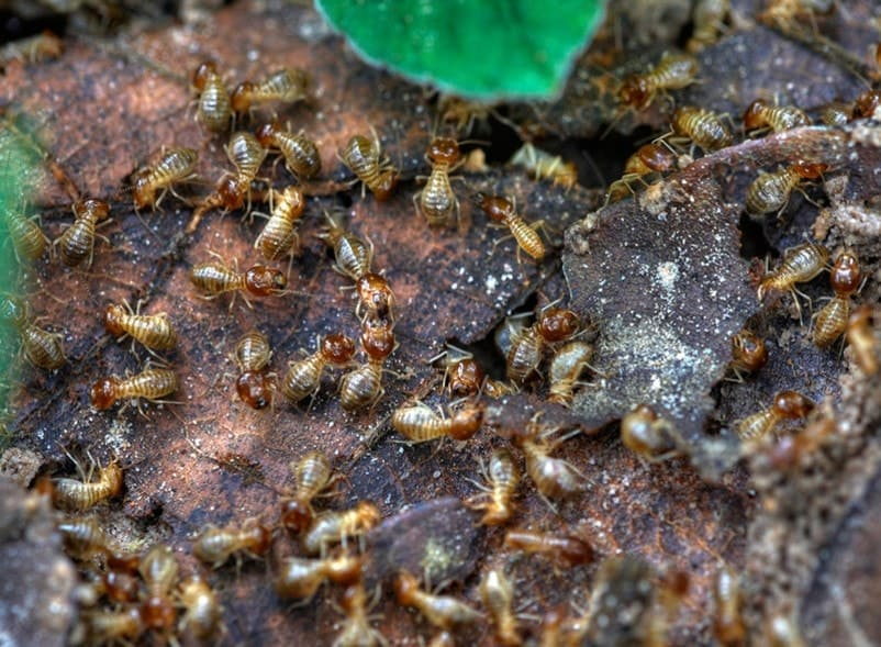 termites on a wooden surface
