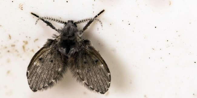 the drain fly on the wall