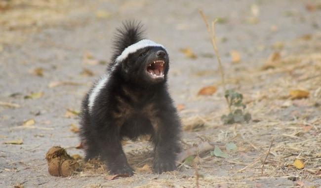 the-evil-skunk
