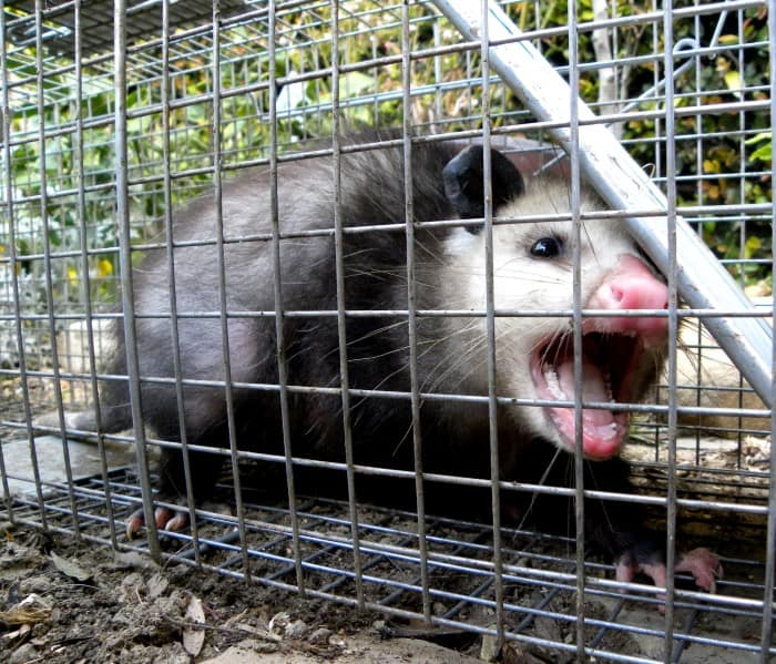 the opossum into the trap