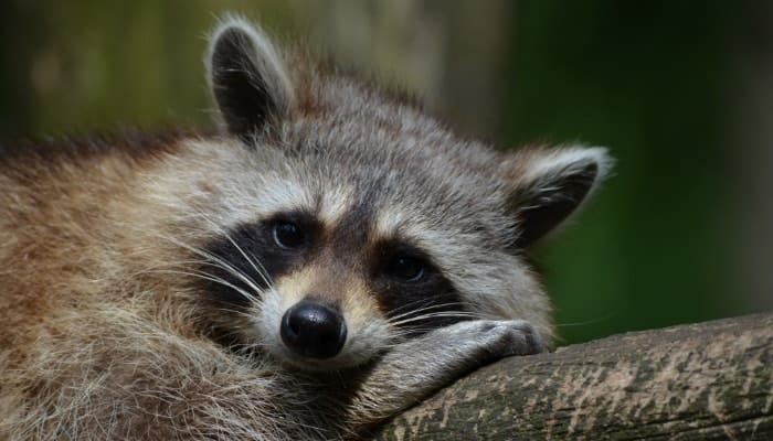the raccoon is lying on a log