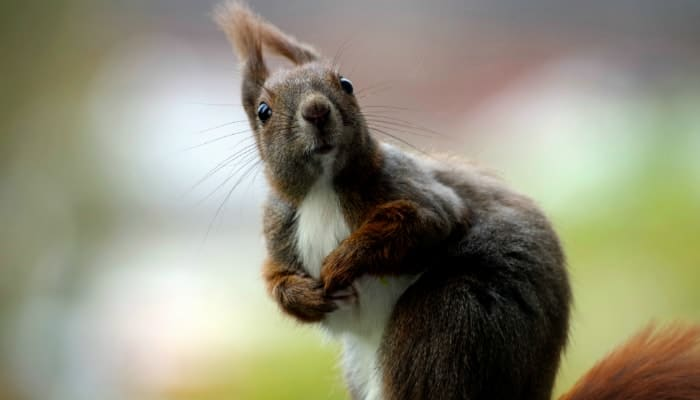 the squirrel is looking