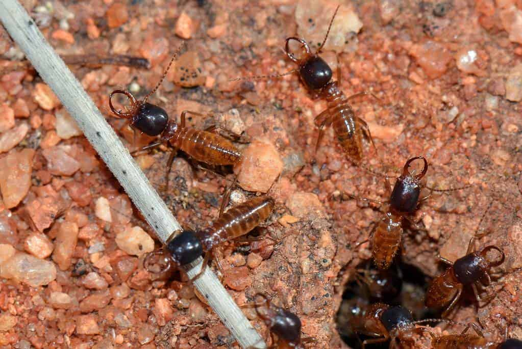 the-termites
