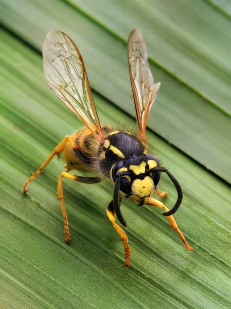 the-wasp