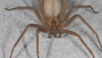 How to Get Rid of Brown Recluse Spiders: Easy and Not So Easy Ways