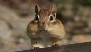 Best Chipmunk Repellents in 2021: Expert Reviews