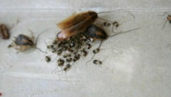 Cockroach Eggs 101: What They Look Like & How to Get Rid of Them