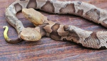 How to Get Rid of Copperhead: Identification and Control