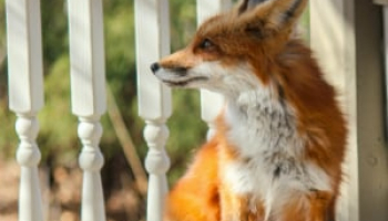 How to Keep Foxes Away from Your Area: Definite Guide + Repellent Reviews