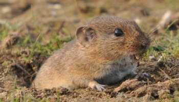 Best Vole Poison: Effective Rodent Killers