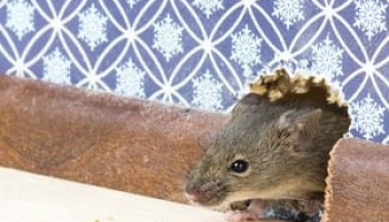 How to Get Rid of Mice: Complete Mice Control & Prevention Guide