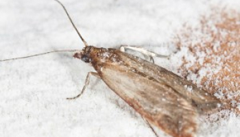 How to Get Rid of Pantry Moths: Facts, Remedies, and Treatments