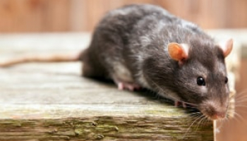 How Much Does a Rat Exterminator Cost in 2021: Rat Removal Prices Explained