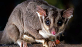 Possum Poop: Complete Identification & Removal Guide
