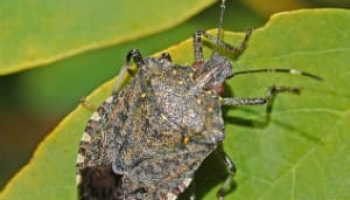 How to Get Rid of Stink Bugs: Detailed Identification & Removal Guide