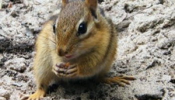 Chipmunk Droppings: Identification & Dangers [2020 Updated]