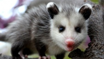 How to Get Rid of Possums: Effective Opossum Removal Methods