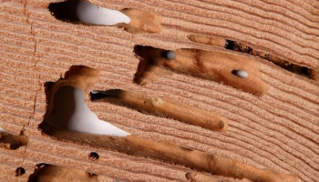 How to Get Rid of Drywood Termites: Guidelines for Homeowners