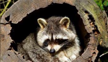Best Raccoon Bait in 2021: Expert Reviews