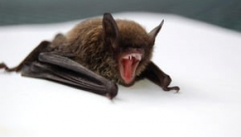 Best Bat Repellents: Useful Products and Tricks for Keeping Bats Away