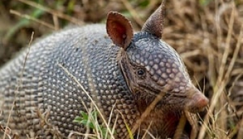 How to Trap Armadillos – Learn Everything About Catching an Armadillo