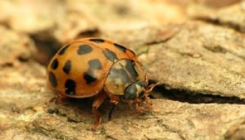 How to Get Rid of Asian Beetles: Detailed Identification & Removal Guide