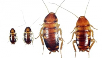 Baby Roaches: Expert Tips on How to Identify and Get Rid of Them