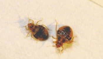 Bed Bug Poop: Beginner's Guide to Identification and Elimination