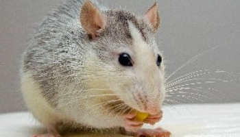 Best Mouse Repellents in 2021: Expert Reviews