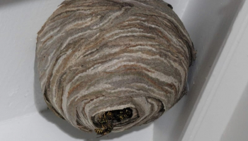 How to Get Rid of Wasp Nest: Only Useful Advice and Top 5 Treatments