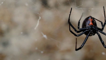 How to Get Rid of Black Widows Once and for Good